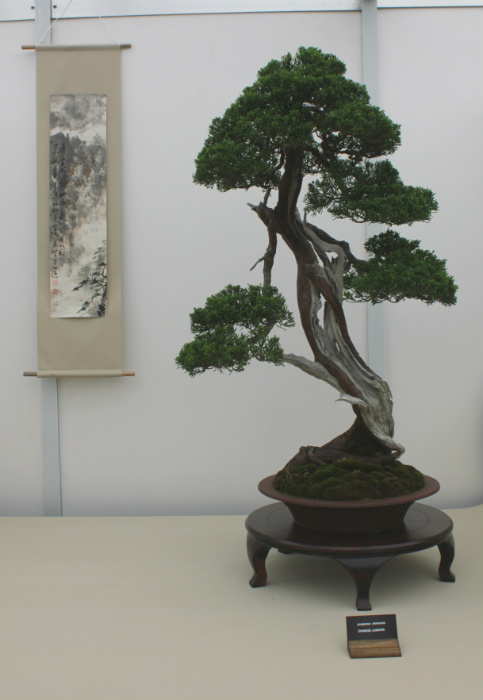 A Chinese Juniper bonsai tree - part of the Platinum-winning display by South Staffordshire Bonsai Society at the Gardener's World Live Exhibition in June 2016