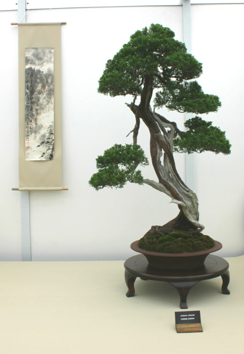 A stunning Chinese Juniper tree on the South Staffs Bonsai Society stand in the Floral Marquee at the Gardener's World Exhibition, June 2016