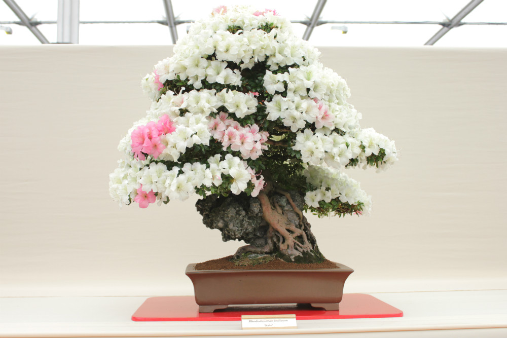 A stunning Rhododendron bonsai tree on the North of England Bonsai stand inside the Floral Marquee at the Gardener's World Live Floral Marquee, June 2016
