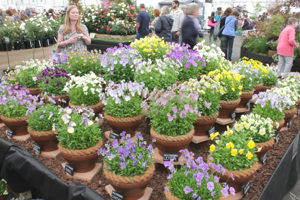 A beautiful display of violas inside the Floral Marquee at the Gardener's World Live Floral Marquee, June 2016