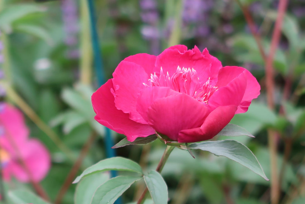 Peony 'Instituteur Doriat' on the Cath's Garden Plants stand at the BBC Gardeners World Live exhibition 2017