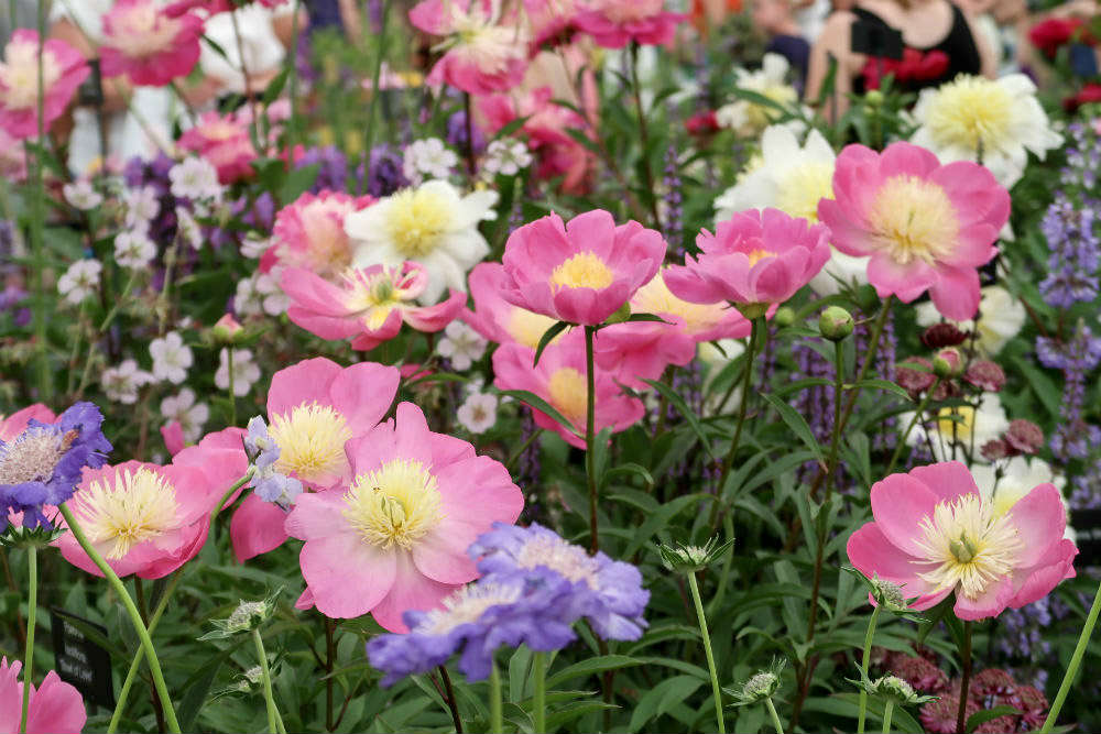 A romantic display of peonies and other flowers at the Cath's Garden Plants stand at the BBC Gardeners World Live exhibition 2017
