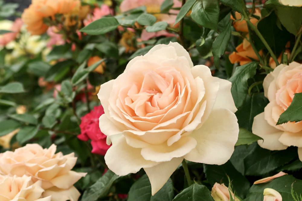 Beautiful and fragrant, Rose 'Chandos Beauty' on the Harkness Roses stand at the BBC Gardeners World Live exhibition 2017