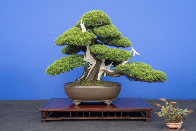A Chinese Juniper bonsai tree at the RHS Flower Show Cardiff 2018
