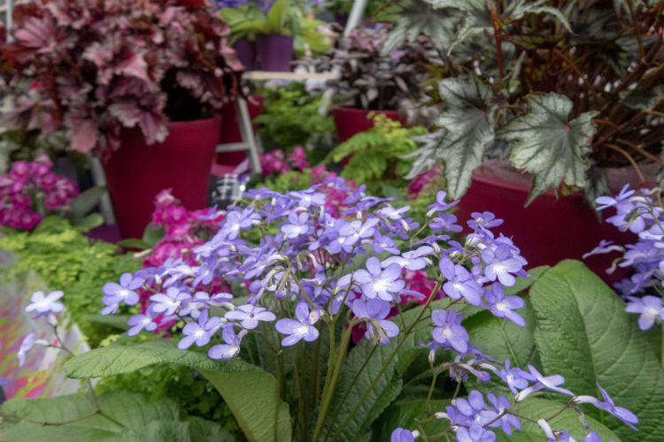 A display of blue and pink Strepocarpus on the Dibleys Nurseries stand at the RHS Flower Show Cardiff 2018