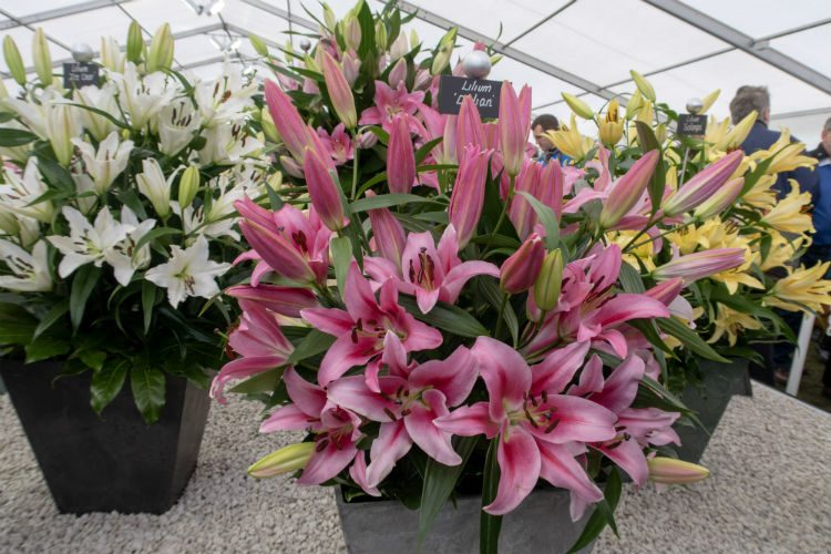 A display of pink, white and yellow lillies on the Harts Nursery stand at the RHS Cardiff Flowershow 2018