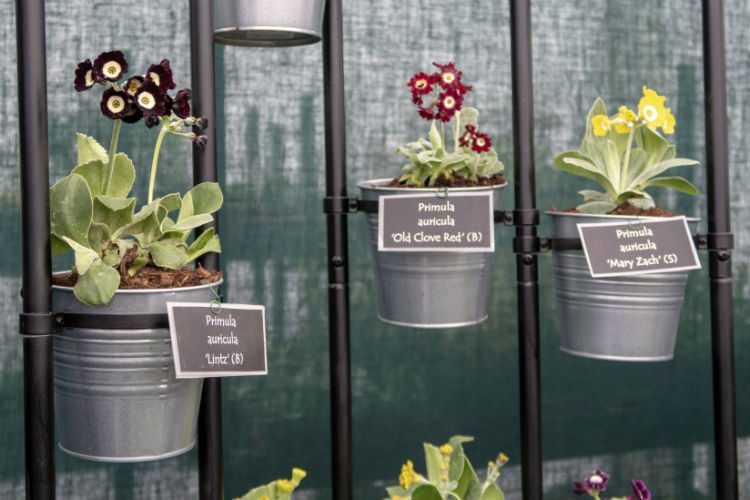 A modern display of Primula Auricula see on the Hillview Hardy Plants at RHS Cardiff 2018