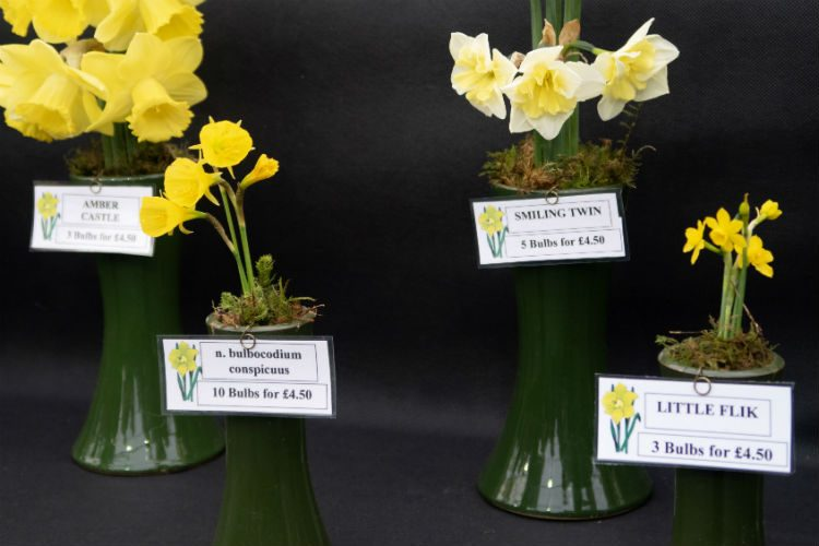 Little Flik -a tiny daffodil on the Scamps stand at RHS Cardiff 2018