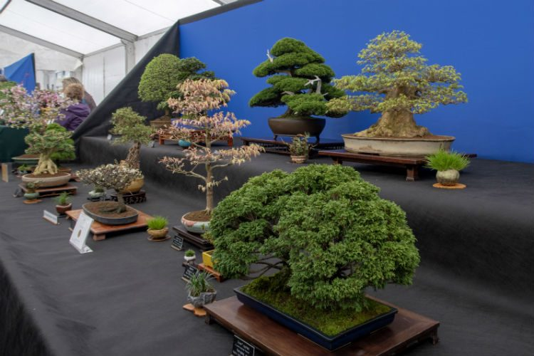 A Display of bonsai trees on the Mendip Bonsai stand at RHS Cardiff 2018