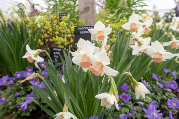 Narcissus Reggae, a daffodil with milky white petals and a salmon pink cup, seen on the Pheasant Acre Plants stand at RHS Cardiff 2018