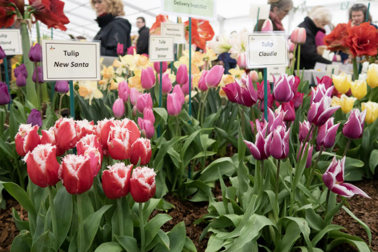 A display of tulips at the RHS Flower Show Cardiff 2018