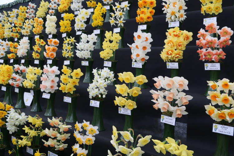 A display of daffodils in various shades and colours at the RHS Flower Show Cardiff 2018