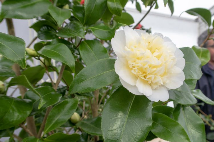 A delicate creamy white camellia blossom, seen on the Strete Gate Camellias stand at RHS Cardiff 2018