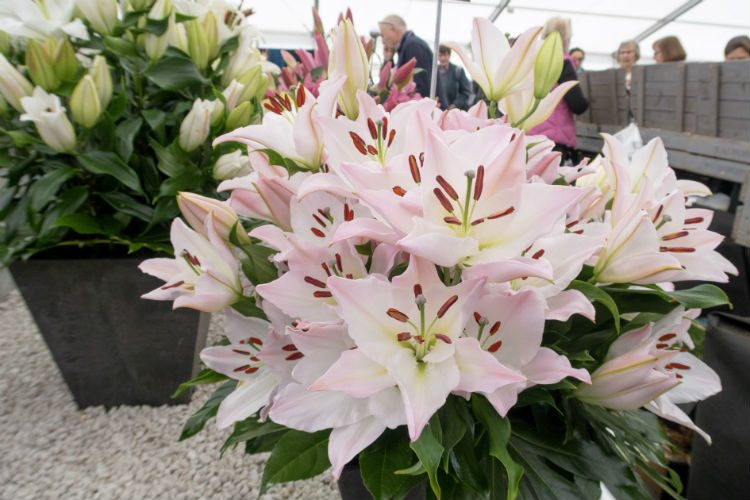 A display of pale pink lillies on the Harts Nursery stand at the RHS Cardiff Flowershow 2018