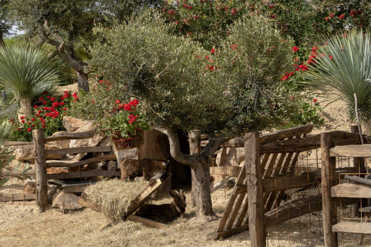 Billy's Cave, a show garden featuring olive trees and a herd of goats, at the RHS Malvern Spring Festival 2018