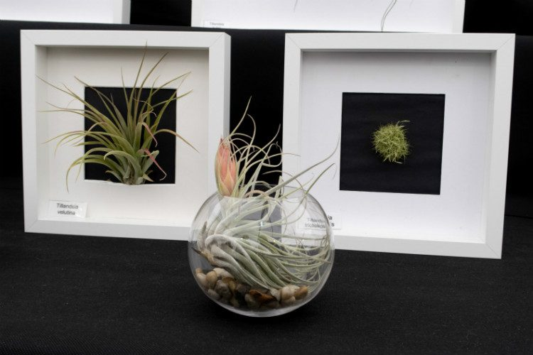 Tillandsia, or air plants, displayed in picture frames at the RHS Malvern Spring Festival 2018