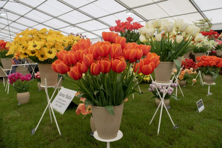 Beautiful bold tulips at the RHS Malvern Spring Festival 2018