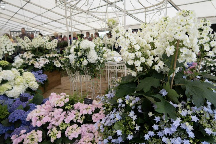Hydrangea on the Cooks Garden Centre stand at the RHS Malvern Spring Festival 2018