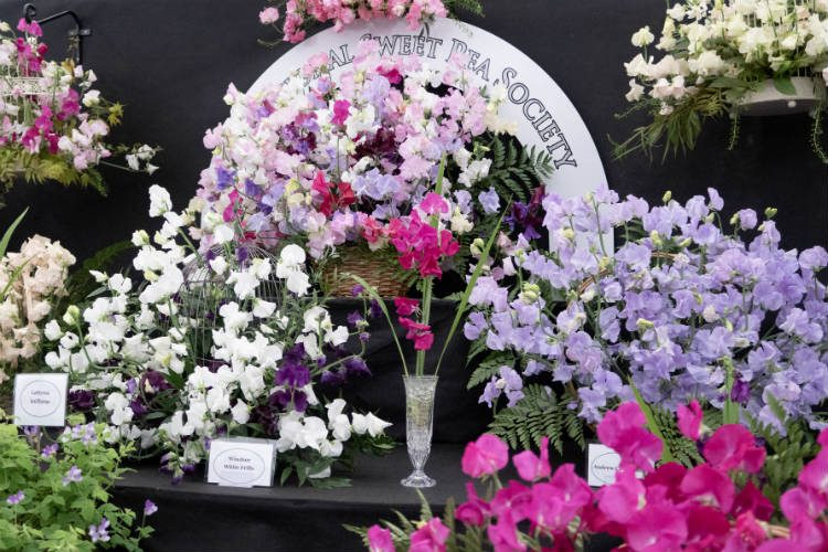 A display of sweet peas at the RHS Malvern Spring Festival 2018