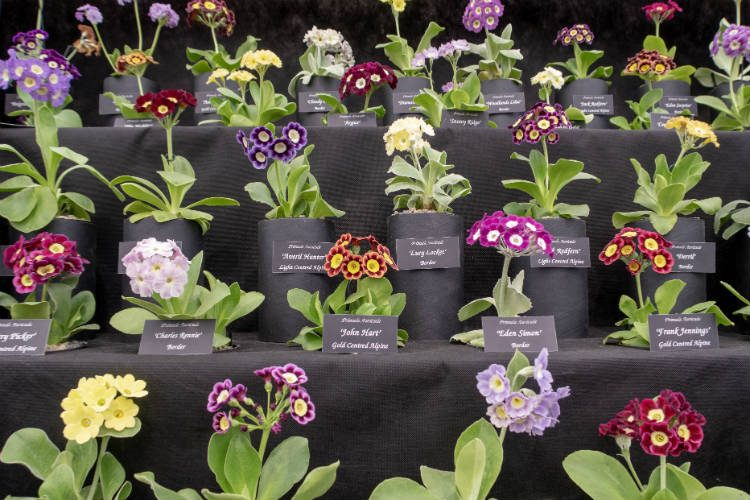 A display of Primula auricula on the Drointon Nurseries stand at the RHS Malvern Spring Festival 2018