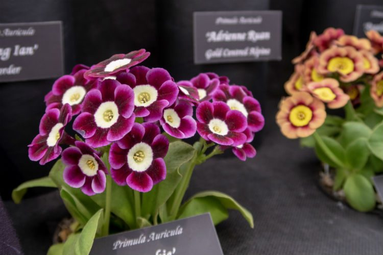 Primula auricula'Sophie' on the Drointon Nurseries stand at the RHS Malvern Spring Festival 2018