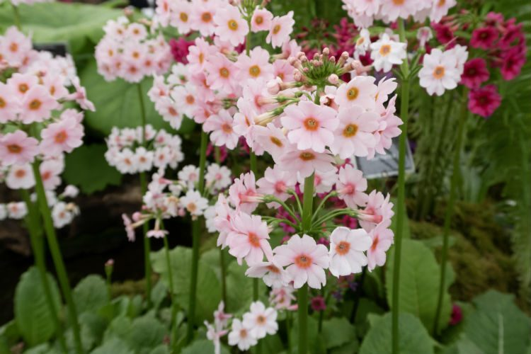 Primula japonica'Apple Blossom' at the RHS Malvern Spring Festival 2018