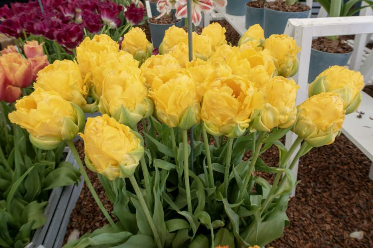 Bright yellow fringed tulips on the Pheasant Acre Plants stand at the RHS Malvern Spring Festival 2018