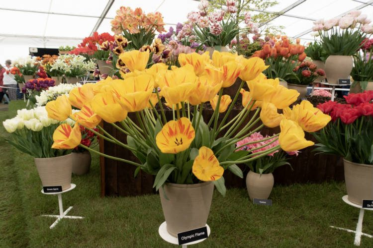 Olympic Flame Tulips on the Blom's Bulbs stand at the RHS Malvern Spring Festival 2018
