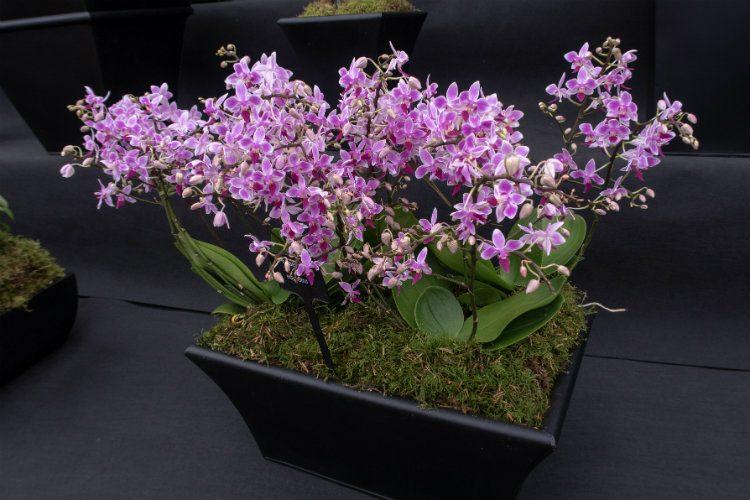 Phaelenopsis Equestris