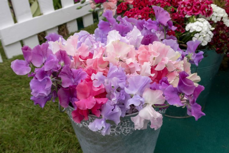 A simple arrangement of Sweet Peas at the BBC Gardeners' World Live 2018 exhibition