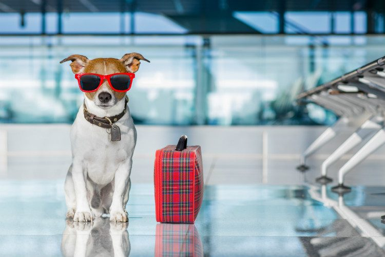 A cute Jack Russell Terrier at an airport, wearing sunglasses and with a suitcase ready for his holiday