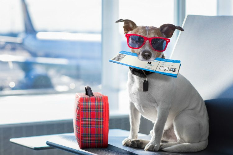 A Jack Russell Terrier sitting in an airport lounge with sunglasses, suitcase and plane tickets, ready for his holiday