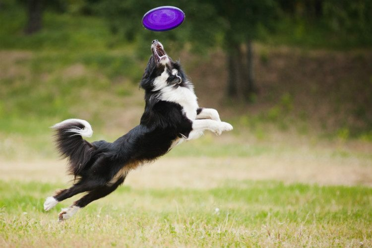 A collie jumps up to catch a purple frisbee in his mouth