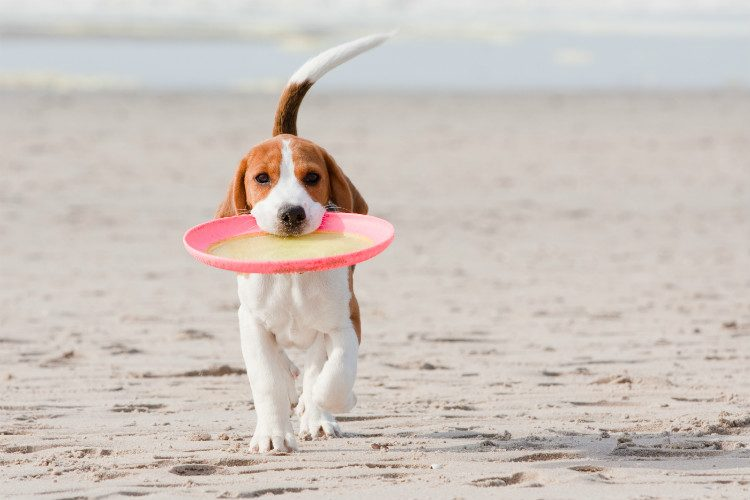 A beagle puppy playing with a frisbee on a sandy beach