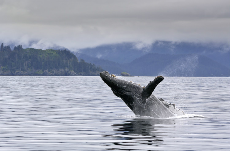 A humpback whale breaches the water's surface in Alaska