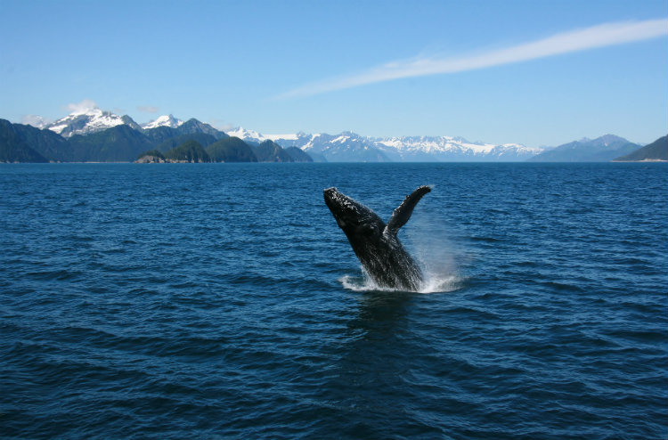 A humpback whale breaches the water with the Alaska mountain scenery in the distance.