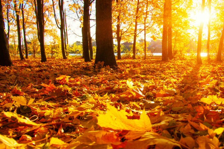 Autumn leaves on the ground with the sun shining through the trees