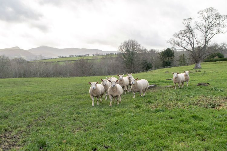A small flock of white sheep in a field near Peterstone Court Hotel near Brecon in South Wales. They are looking inquisitively at the camera