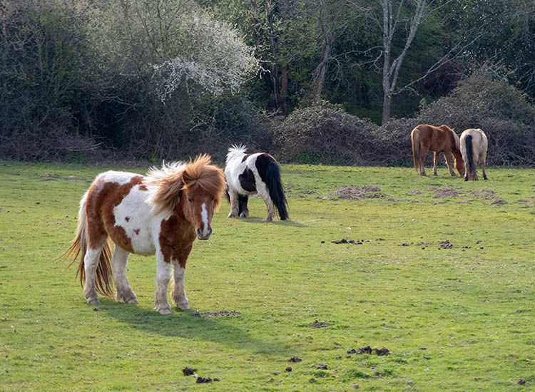 A group of New Forest ponies grazing in the New Forest, Hampshire