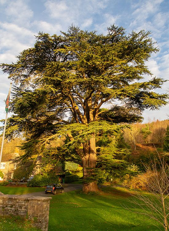 A large cedar tree in the grounds at at Gliffaes Country House Hotel.