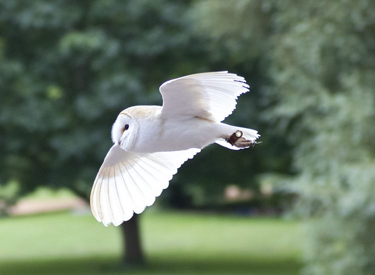 Close up of a white barn owl in flight at the Falconer's Quest at Warwick Castle, Warwickshire, UK
