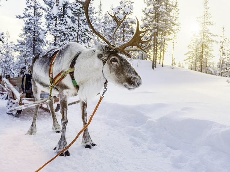Reindeer safari in Finland